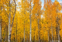 Falling Spirits The shimmering gold of quaking aspens against a light