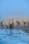 In a Blue Fog Spring Migration of Sandhill Cranes.