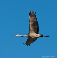 In top shape A sandhill crane soares in the blue sky of morning.